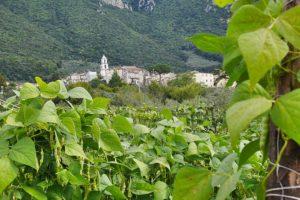 Cilento - Piante di Fagiolo a Controne. foto ©Enrico Caracciolo